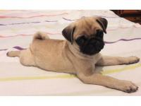 Cachorro Pug Hembra Disponible